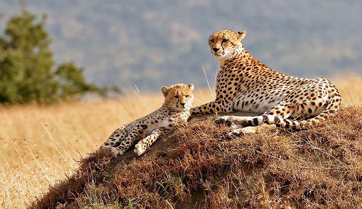 Cheetahs In Africa