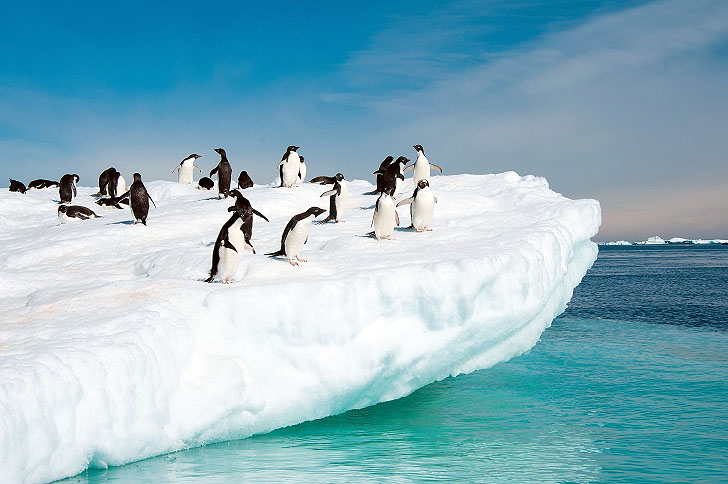 Penguins Jumping From An Iceberg In Antarctica